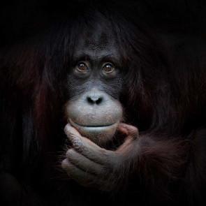 Vlies fotobehang Chimpansee