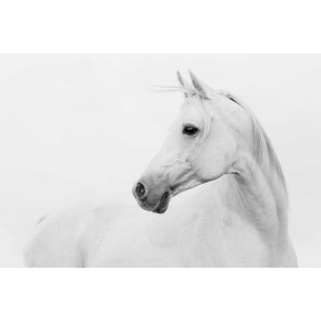 Vlies fotobehang White Arabian horse