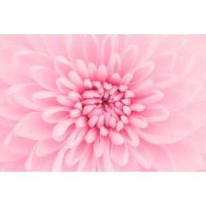 Vlies fotobehang roze chrysant