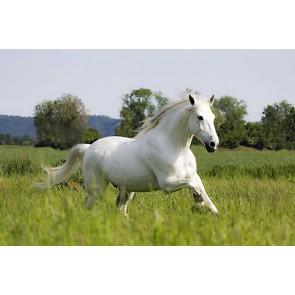 Vlies fotobehang Wit paard